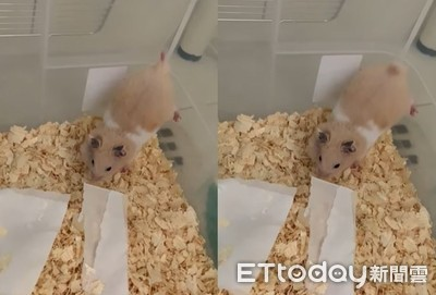 黃金鼠「倒立尿尿」屁股翹超高
