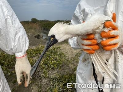 黑面琵鷺集體肉毒桿菌毒素中毒 3天8死7傷
