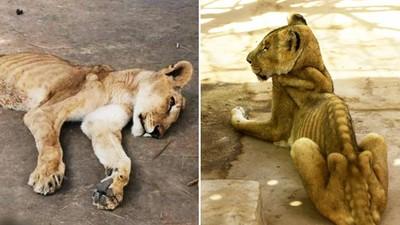 「滿地蛆蟲」爬上獅群!政府砍動物園預算 無辜動物餓昏放著等死