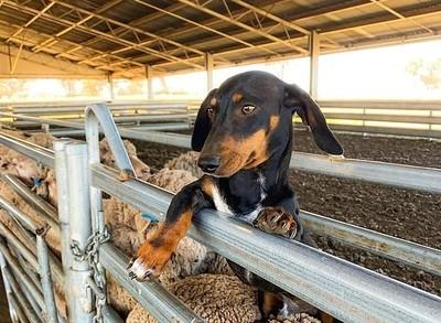 臘腸「選擇性失聰」反變最棒牧羊犬
