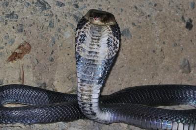 研究:武漢肺炎病毒「可能來自蛇類」