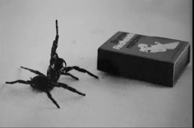 最危險蜘蛛!「雪梨漏斗網蜘蛛」數量激增