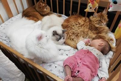 4緬因巨貓貼心守護小寶寶 網看傻