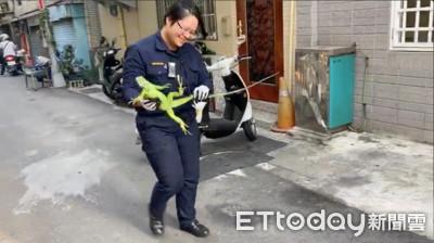 女警活捉除夕趴走「小酷斯拉」民眾鼓掌