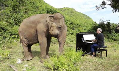 琴師彈安撫曲 盲象做出超靈性舉動