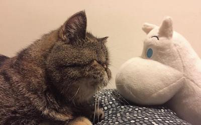 興奮到模糊!懶惰扁臉貓見到它秒清醒