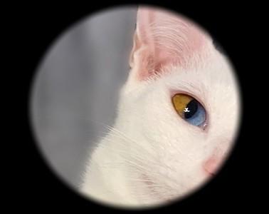 終極版異色瞳 白貓單眼雙色像珠寶