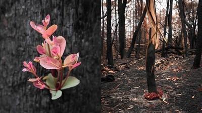 大火熄滅後「艷花盛開」!澳攝影師進入野火災區 拍下朽木上的花芽