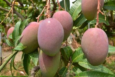 芒果鳳梨保險農民不買單?農糧署曝投保件數