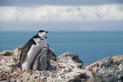 南極企鵝50年大減77%!