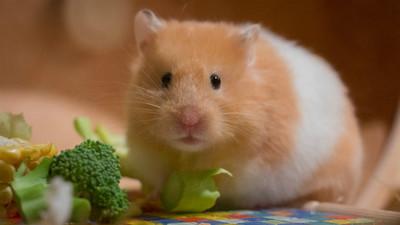 哈姆太郎最愛的「葵花子」不能當飯吃!獸醫:那對牠來說是垃圾食物