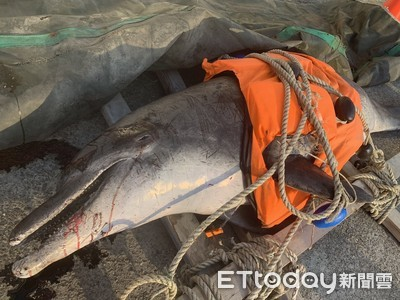 阿嬤級鯨豚擱淺海堤亡!遺體滿身傷惹人疼
