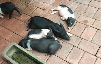 豬咬傷口3個月潰爛不癒 細菌生物膜覆蓋作祟