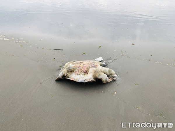 海洋悲歌! 欖蠵龜安平沙灘岸上吐血死亡