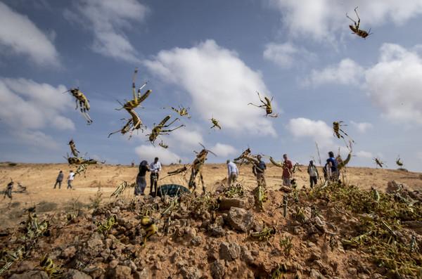 狂虐印度的沙漠蝗蟲會飛到中國? 4千億隻一天吃3.5萬人的食物