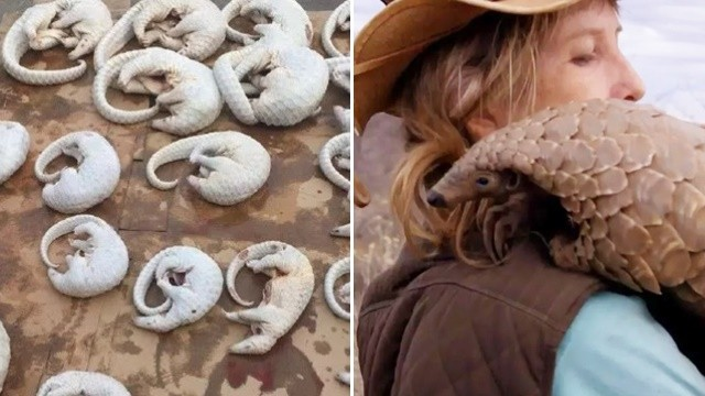 狂吃穿山甲壯陽 BBC追「新冠肺炎中間宿主」 再吃10年恐絕種