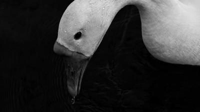 「黑天鵝效應」是什麼?新冠肺炎誰都沒料到 文明意外愈來愈多