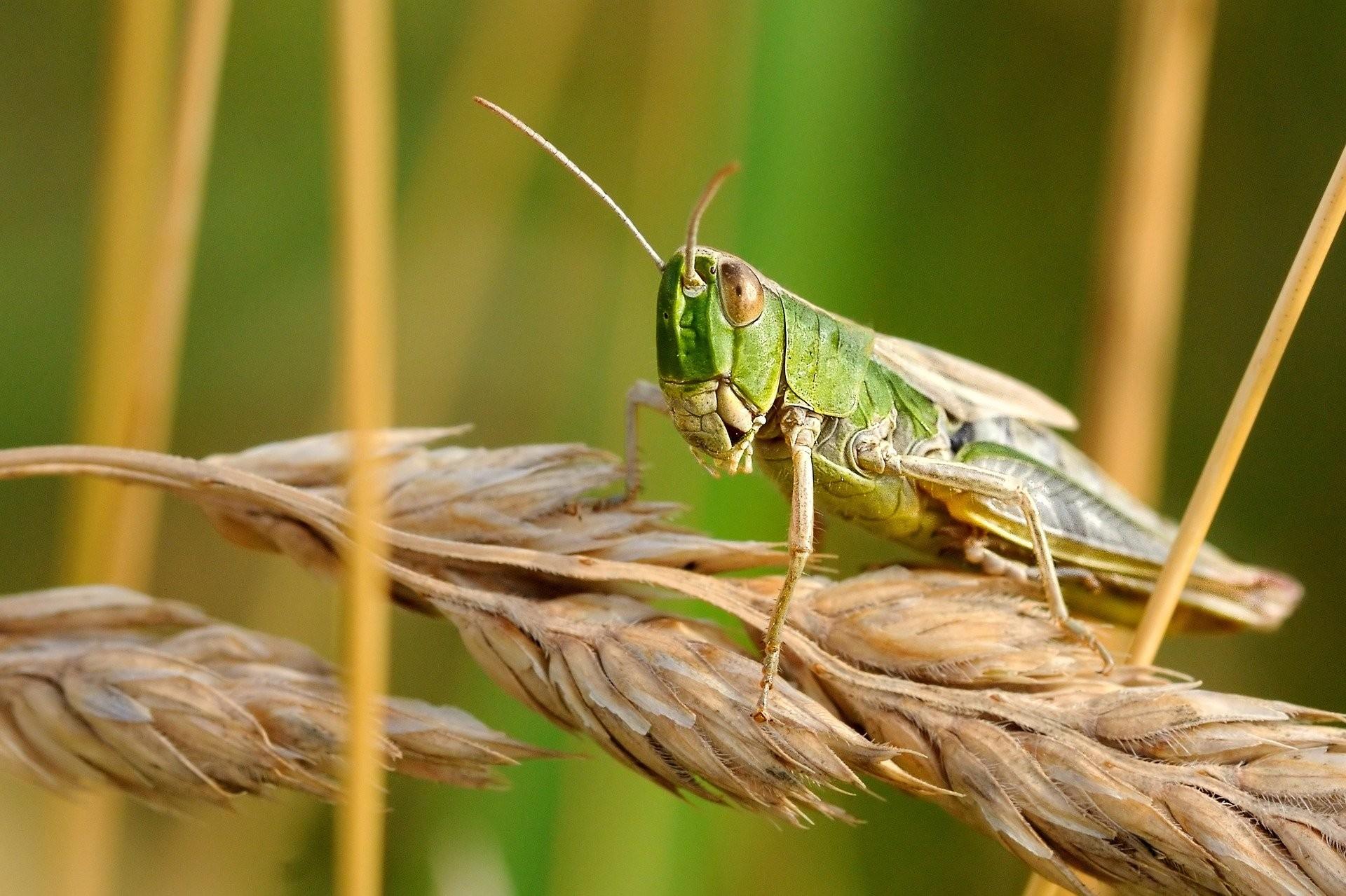 ▲蝗蟲。(圖/取自免費圖庫Pixabay)