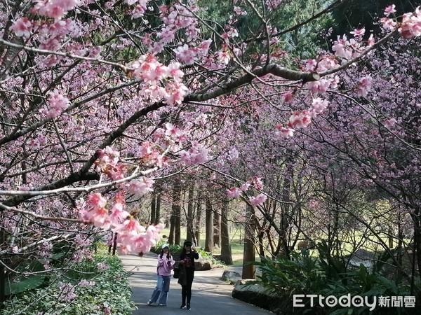 來趟粉紅小旅行!九族櫻花季「最佳賞花期」出爐 5千多棵盛開超夢幻 | E