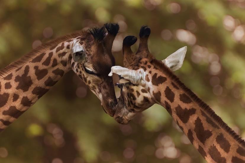 為了繁衍下一代 連尿都敢喝!  雄長頸鹿的超狂求偶行為