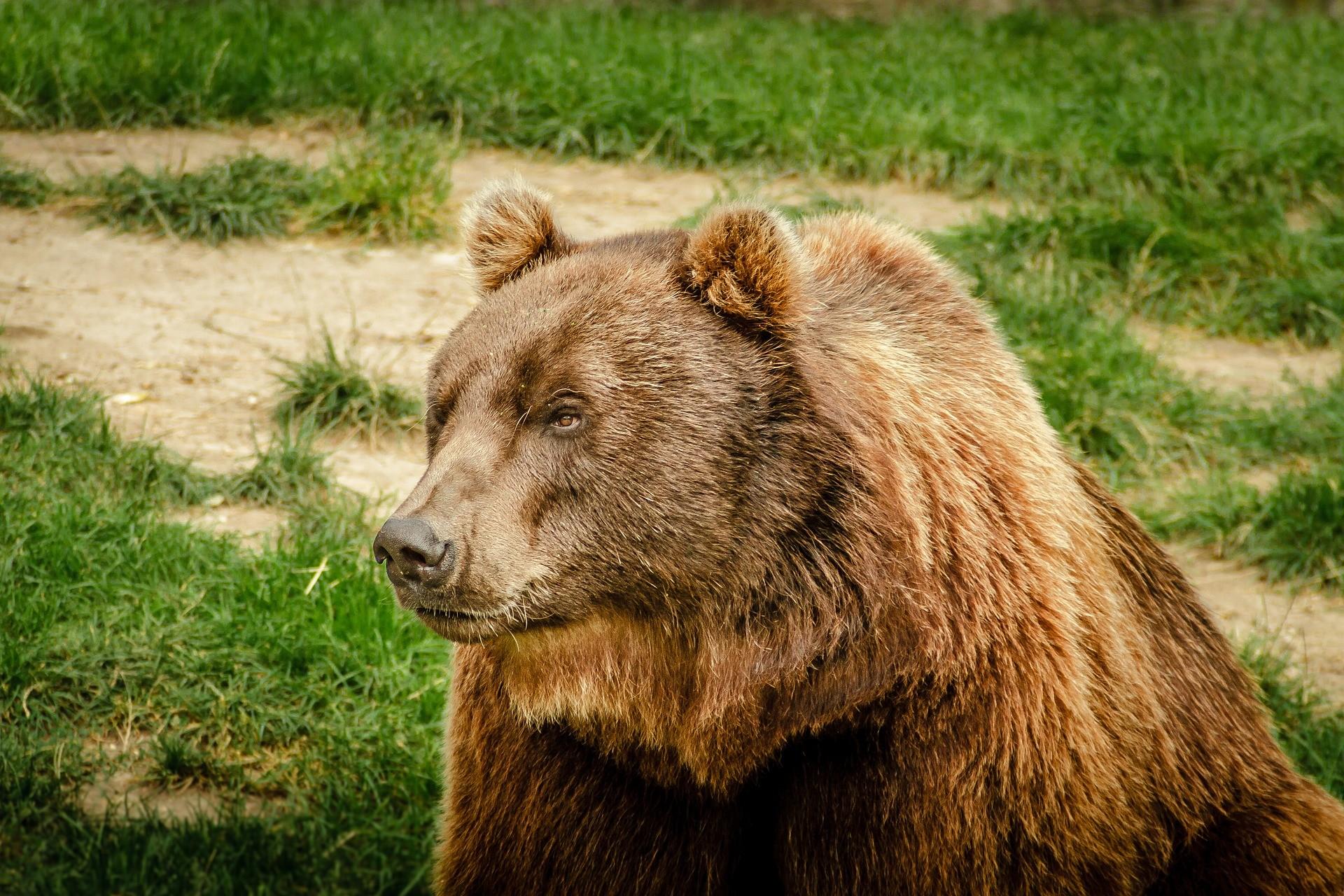 ▲動物,熊,棕熊,。(圖/取自免費圖庫Pixabay)