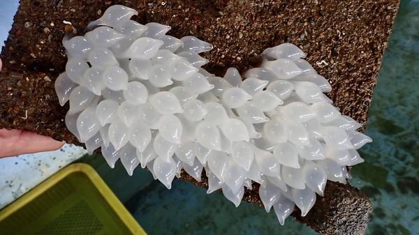 直擊花枝產房!這個你沒看過吧? 愛的結晶卵倒掛在石板下| ETtoday寵物雲| ETtoday新聞雲
