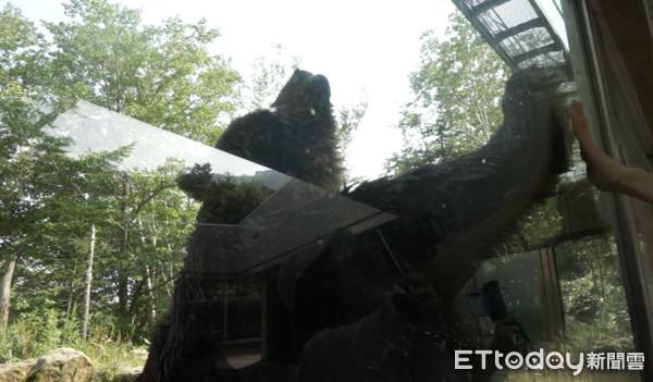 【9】夏季限定!Sahoro觀熊巴士「與大棕熊的0距離親密接觸」這樣擊掌很可以
