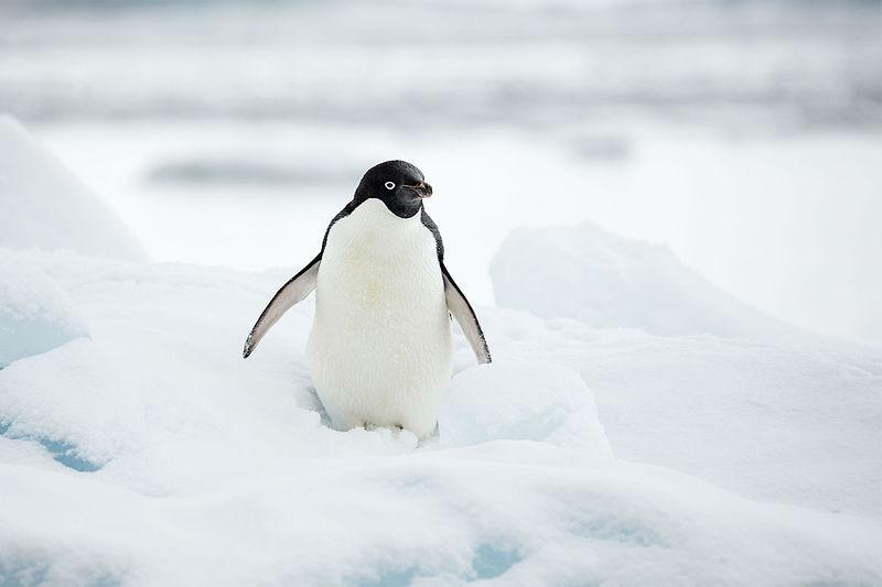 還我呆萌企鵝!阿德利企鵝學會用石頭當貨幣 與隔壁鄰居性交易