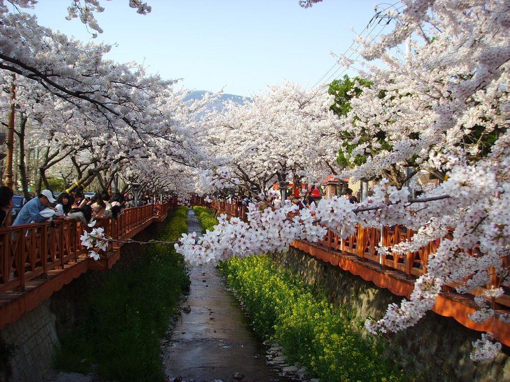 ▲▼南韓鎮海軍港櫻花祭(圖/翻攝自나무위키)