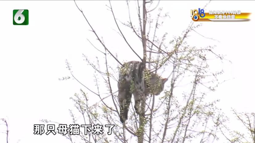 肥貓追女友困樹上5天!四肢懸掛生無可戀 附近鳥氣死每天啄牠