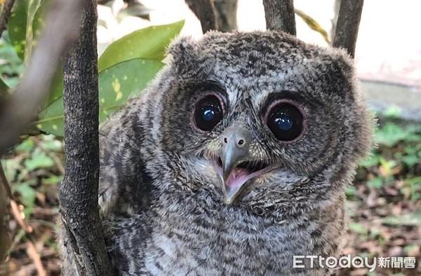 可愛貓頭鷹到南投五育高中旁聽 不屑「鳥巢箱」領角鶚自己蓋
