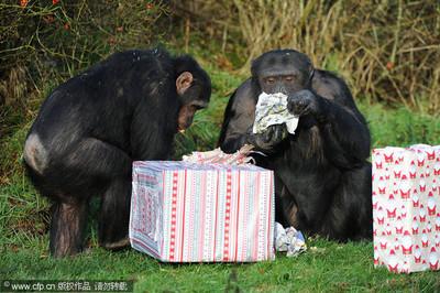 誰說烹飪是人類的專利! 黑猩猩「已知用火」煮食物