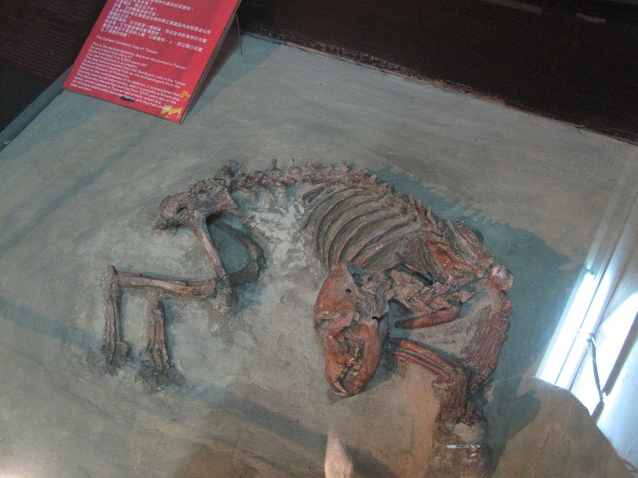 ▲▼南關里遺址出土的狗遺骸,是目前發現臺灣最早的家犬,攝於南科考古文物陳列室(圖/Wikipedia/Pbdragonwang)