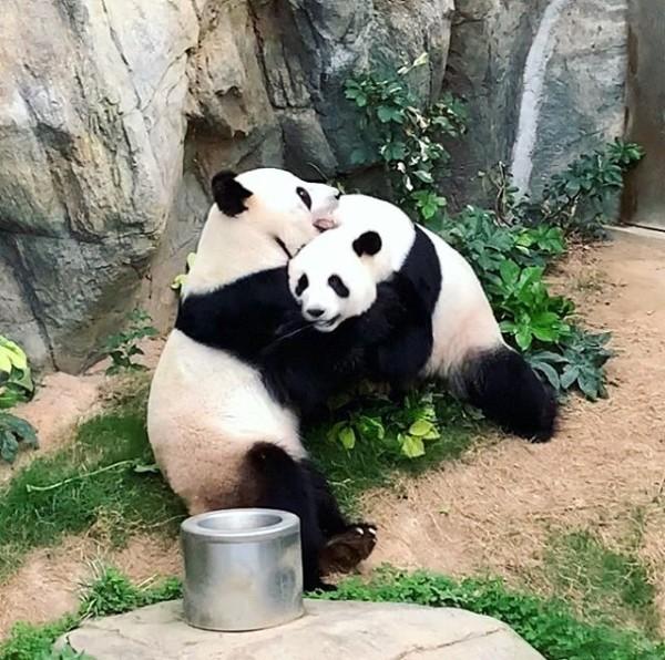 ▲▼ 香港海洋公園的兩隻熊貓十年來首次交配。(圖/翻攝自Instagram/hkoceanpark)