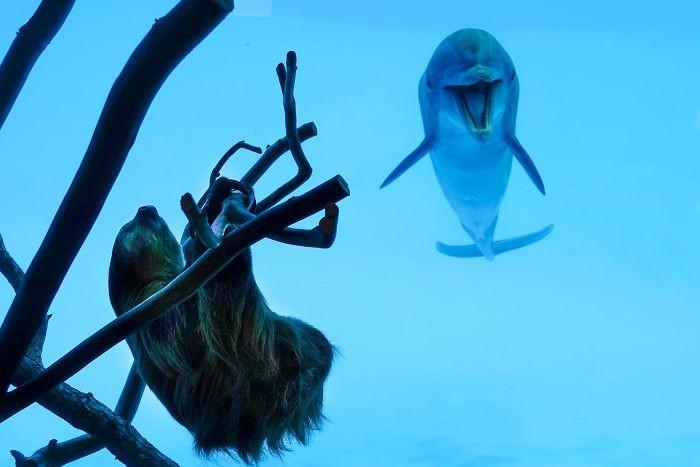 ▲海豚樹懶見面會。(圖/翻攝自Texas State Aquarium)