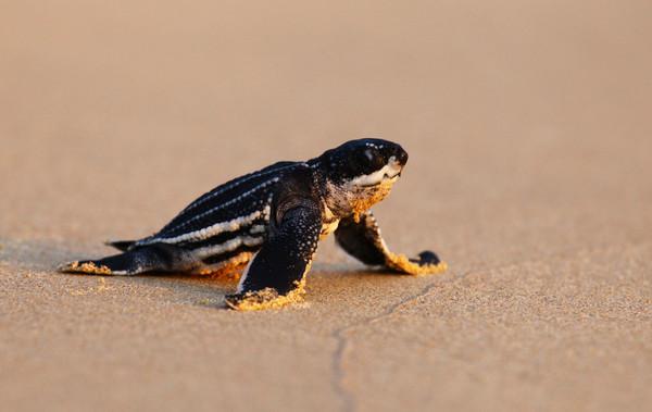 ▲▼海龜巢數量創20年來新高。(圖/路透)