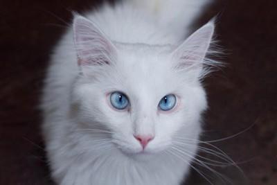 流言:藍眼睛的白貓都是聾子,真假?