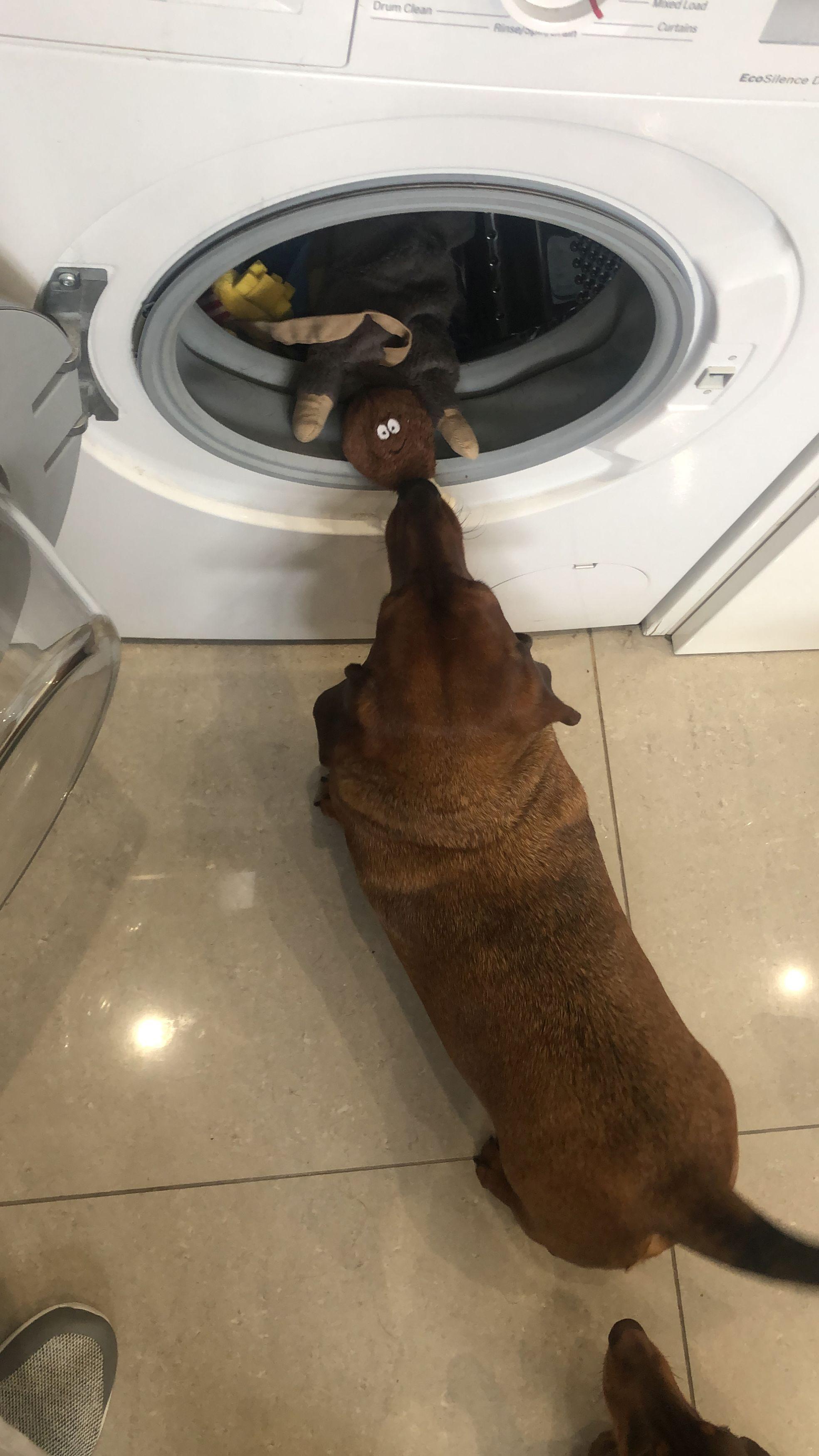 ▲▼臘腸犬的雞腿玩具。(圖/翻攝自Mirror)