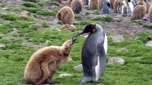 ▲▼研究員發現企鵝的糞便能產生「笑氣」。(示意圖/取自免費圖庫Pixabay)