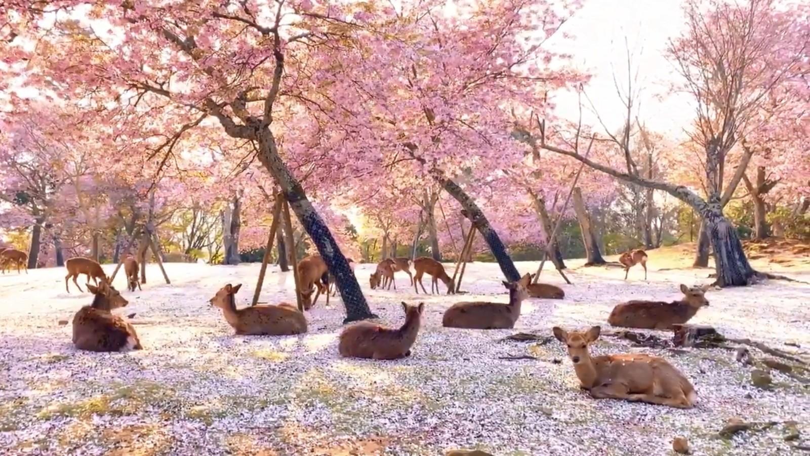 ▲▼奈良的夢幻美景。(圖/翻攝自Twitter/KikiPhotoWorks)