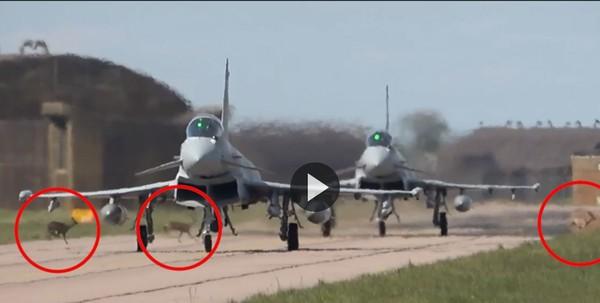 戰鬥機起飛中!3隻「快速公鹿」突闖跑道...網全捏把冷汗