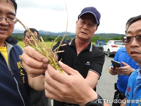 未受豪雨轟炸 台東縱谷米倉稻作仍現「空包彈」