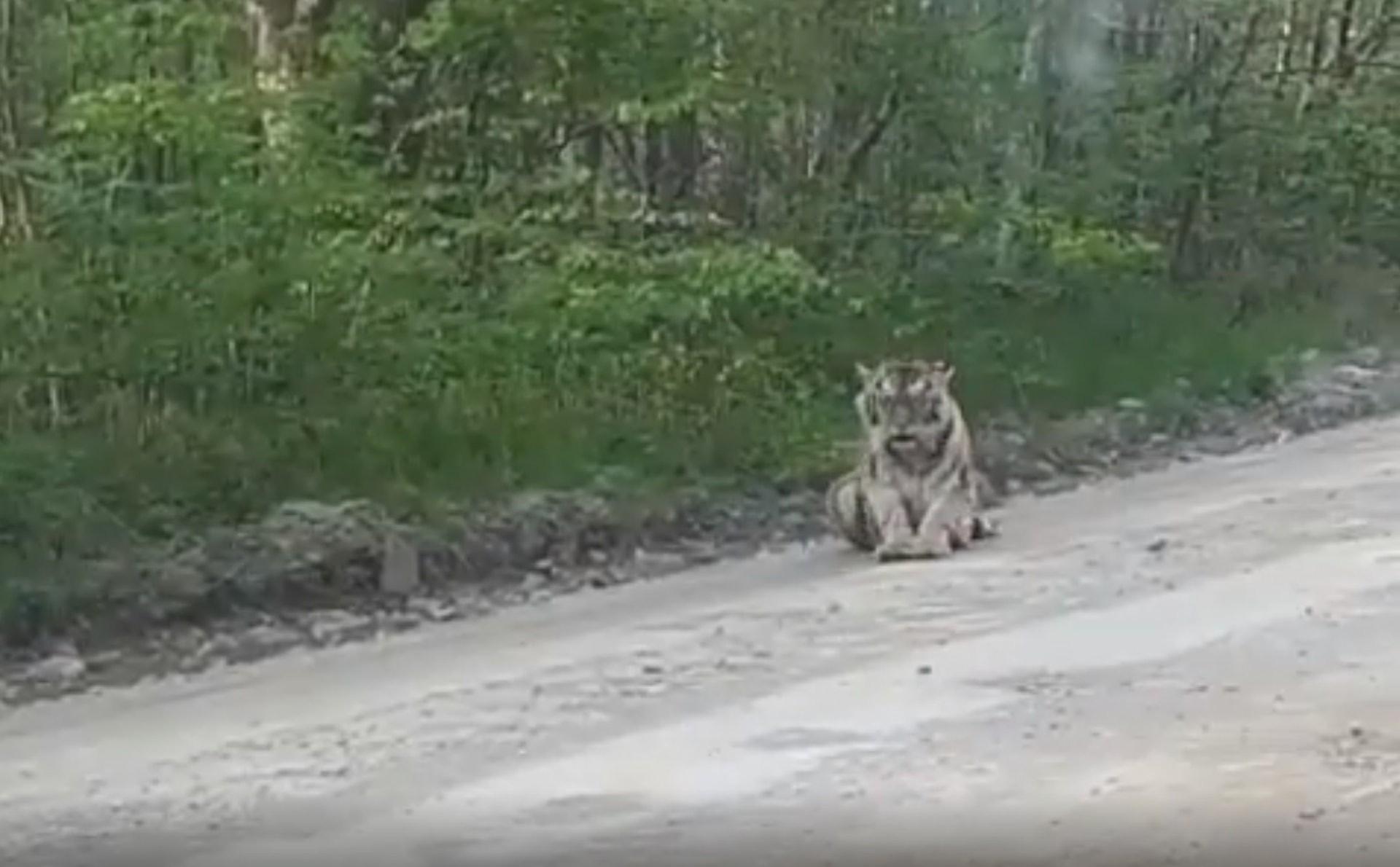 大檸檬用圖(圖/翻攝自Amur Tiger Centre)