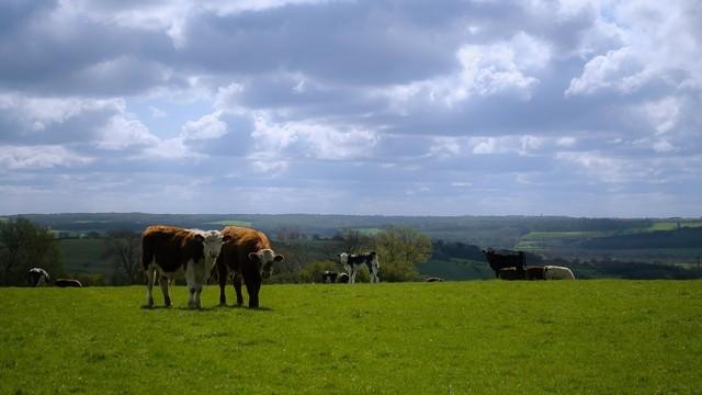 ▲▼英國北約克郡一位82歲男子遭牛群攻擊,不幸當場死亡。(圖/取自免費圖庫Pixabay)