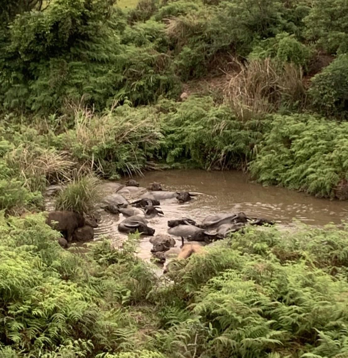 ▲▼陽明山擎天崗也曾發生過水牛攻擊觀光客事件。(圖/記者朱郁雯攝)