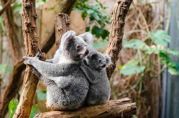 當地無尾熊「只剩30年」! 澳洲新南威爾斯州執政聯盟吵到分裂 | ETt