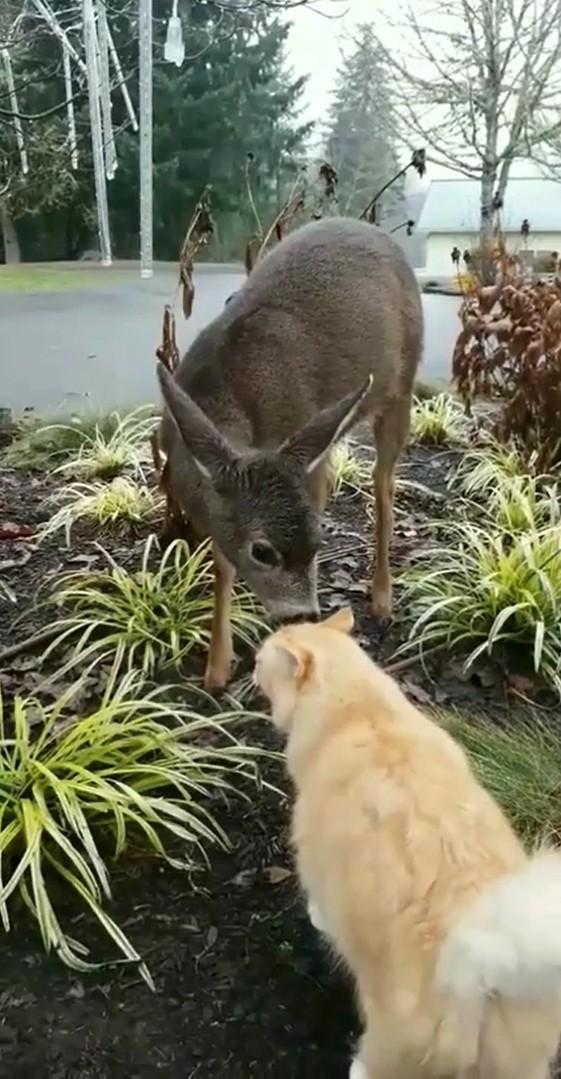 ▲▼再吸就收錢!陌生鹿跑進家裡「陶醉吸貓」 飼主看傻(圖/翻攝自Reddit)