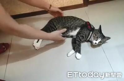 影/虎斑貓穿胸背帶秒變「軟爛QQ果凍」 耍賴趴地上表演綜藝摔