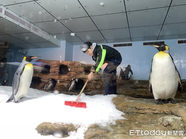 全台獨創「企鵝號誌燈」在桃園!2種企鵝變換6姿勢超萌 14日亮相 | E