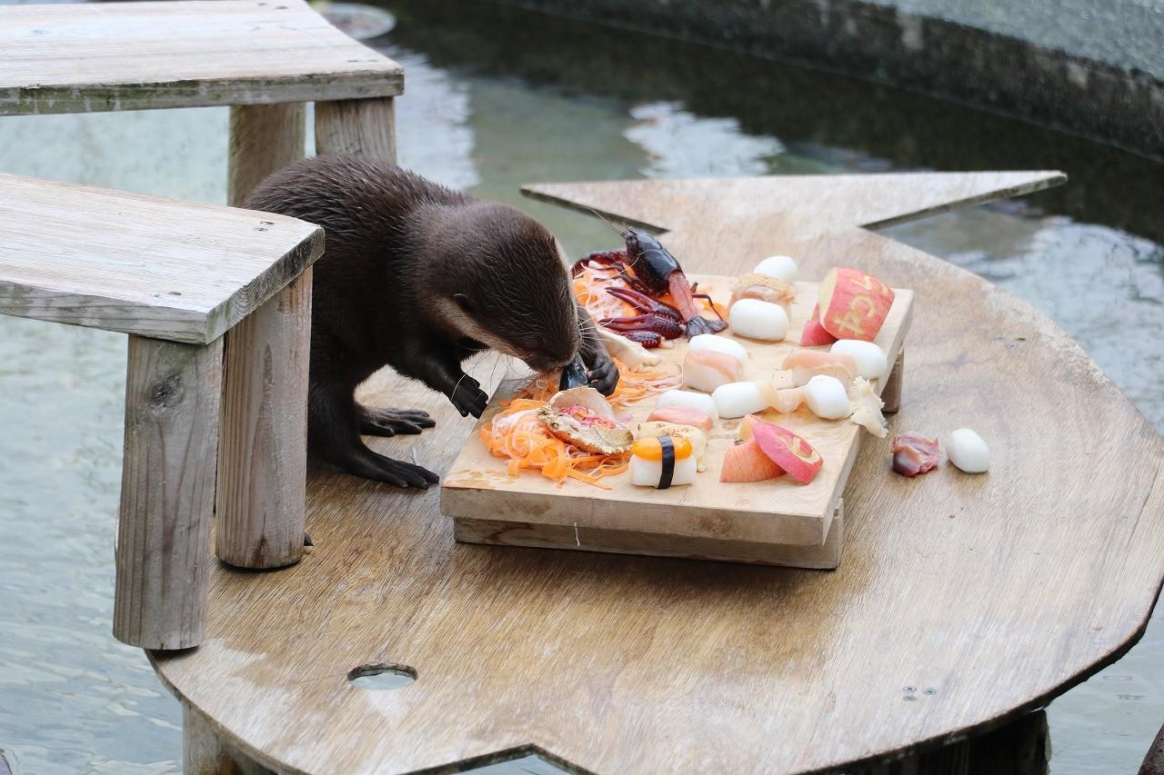▲▼水獺6歲生日吃壽司(圖/翻攝自twitter/@omoriyama_zoo)